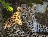 Леопардов выпустили в Аланию