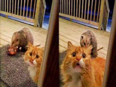 Опоссум нагло ворует обед у кота