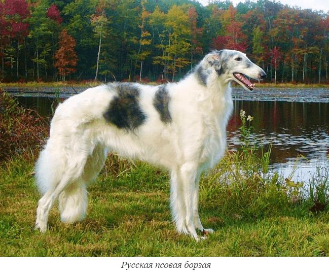 порода собак русская охотничья