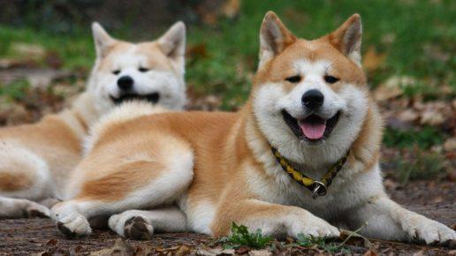 Собаки породы акита