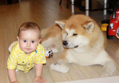 Акита рядом с ребёнком