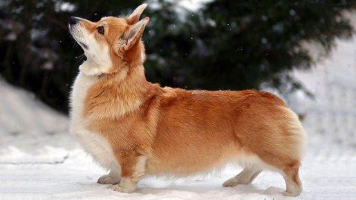 Собаки, похожие на лису
