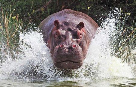 Бегемот в воде