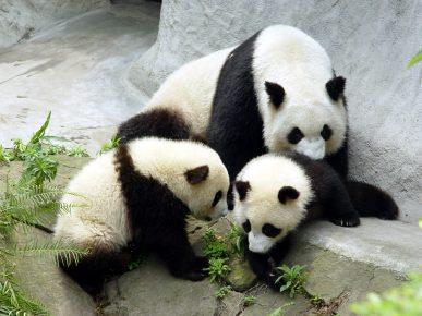 Панда с детёнышами