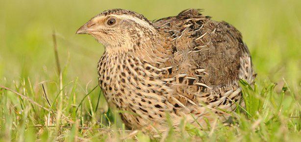 Самая тупая птица в мире — перепёлка