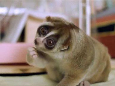 Лемур — самая тупая обезьяна в мире