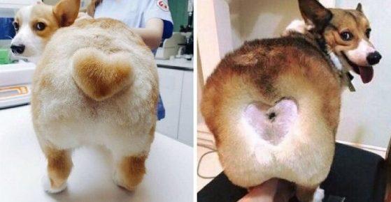 Собаки с выстреженными сердечками на попе