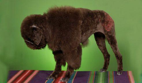Стрижка превратила собаку в маленького бизона