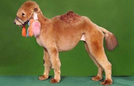 Стрижка сделала из собаки верблюда