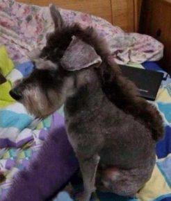 Собака со стрижкой ирокез