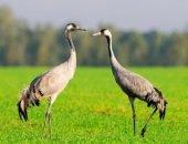 Путь миграции серых журавлей