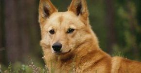Собаки, похожие на лисиц