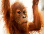 Спасение детёныша орангутана