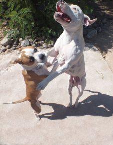 Собаки танцуют вместе