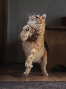 Танцующий рыжий кот