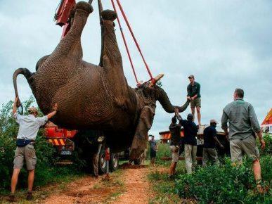 Транспортировка слона