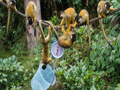 Беличьи обезьянки увлечены процессом