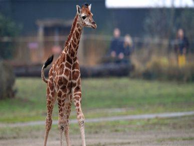 Детёныш жирафа Ротшильда в сафари-парке Англии