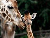 Детёныш жирафа вида Ротшильда