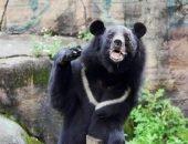 Гималайский медведь напал на сборщика ягод