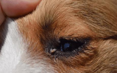 Гной у собаки в глазах