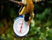 Как взвесить обезьянку?