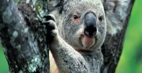 Коала в Австралии трижды заходила в аптеку