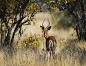Кто придёт на помощь антилопе, когда хищники не дремлют?