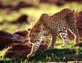 Леопард на свободе