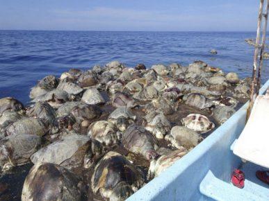 Мёртвые оливковые черепахи у побережья Мексики