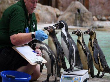 Пингвины становятся на весы