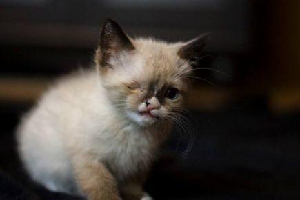 одноглазый котенок пират сэр стаффингтон