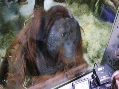 Орангутан Захар