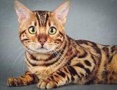 Заводчики наживаются на породистых котах