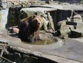 В зоопарке Калининграда открывается дом престарелых медведей