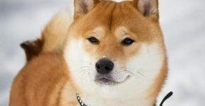 Собака учит японский язык ради лакомства