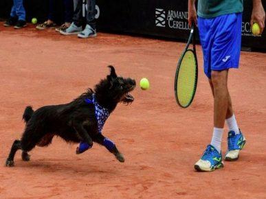 Собаки приносят мячи теннисистам