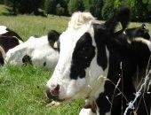 В Бразилии обнаружили корову с тремя рогами