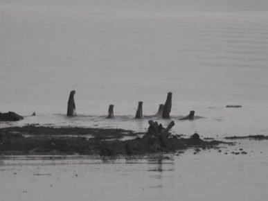 Выдры отпугивают местного крокодила