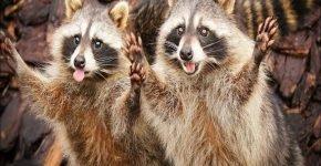 Звуки флейты привлекли десятки енотов из леса