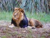 Биологи расследуют гибель 11 львов в Индии