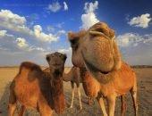 Верблюд взбесился во время съёмок