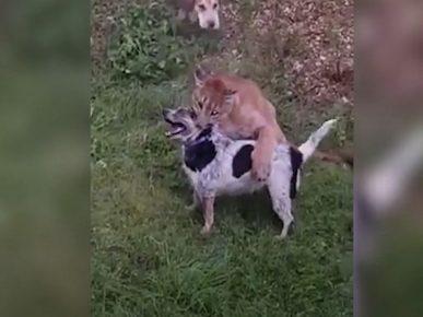 Пума чуть не загрызла домашнюю собаку