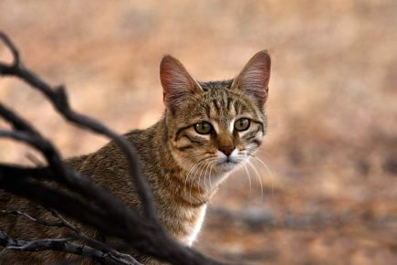 ливийская кошка