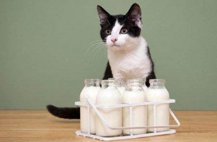 кошка и молоко