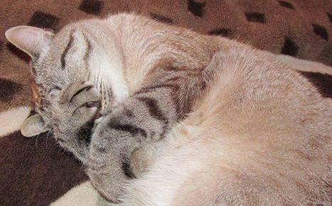 кот закрывает нос лапой