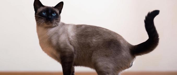 кошка сиамская