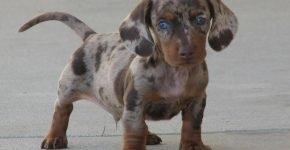 необычный окрас собак