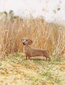 такса-леопард
