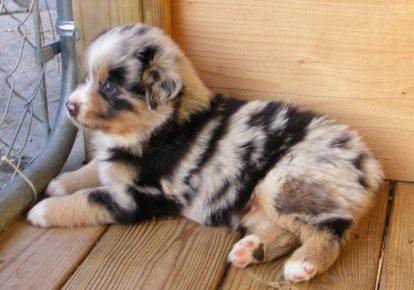 пестрый щенок
